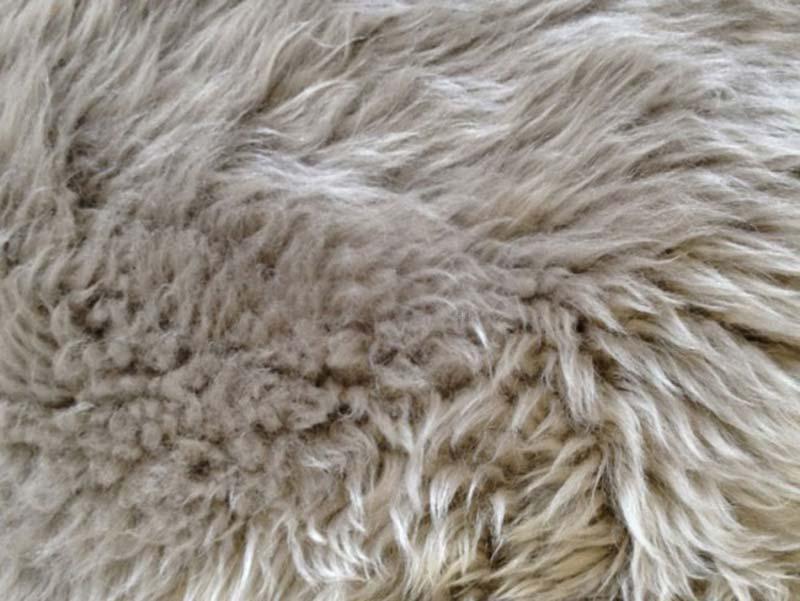 New Zealand rund skindhynde, Lysegrå