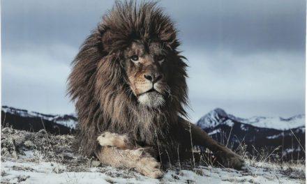 KARE DESIGN Proud Lion Plakat, Glas 120x180cm